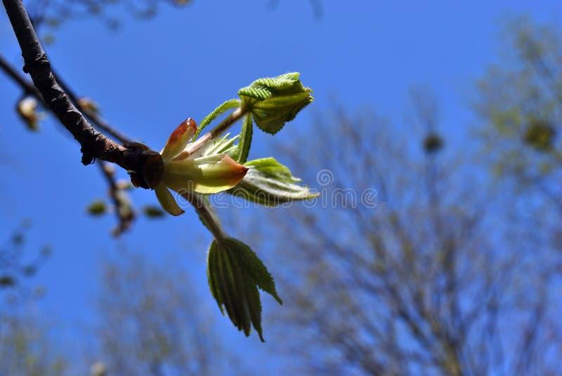 Galho com as folhas verdes novas, fundo azul da árvore de castanha do céu da mola, silhuetas obscuras das árvores fotografia de stock