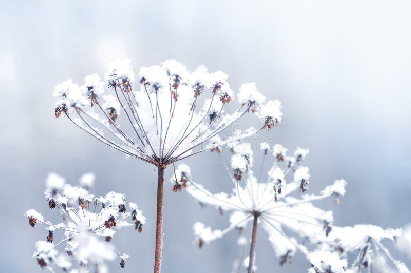 Galho congelado da flor no fundo bonito da queda de neve do inverno foto de stock royalty free