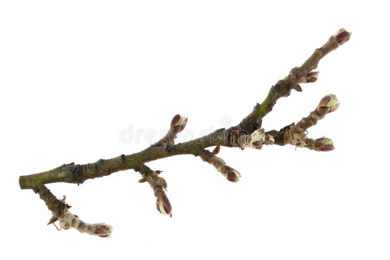 Galho da árvore de maçã com botões fotografia de stock royalty free