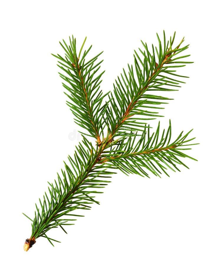 Galho da árvore de Natal foto de stock royalty free