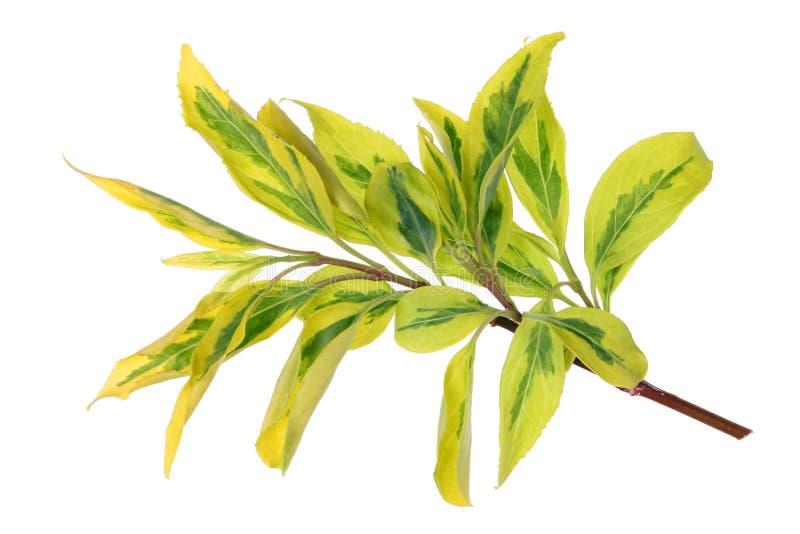 Galho da mola do arbusto decorativo exótico com folhas amarelas imagem de stock