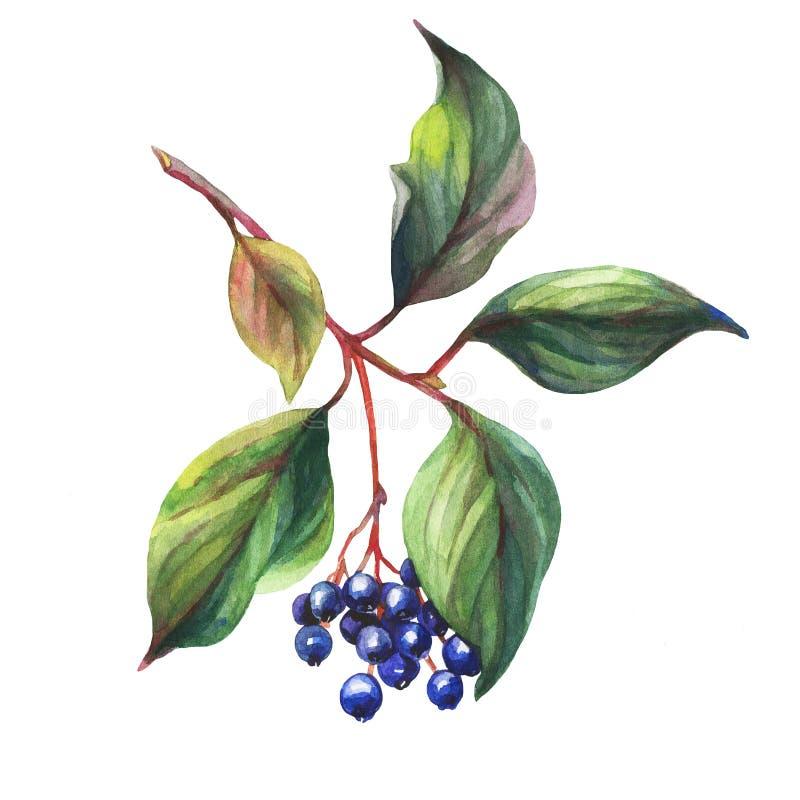 Galho da planta do negro do sambucus da baga de sabugueiro com folhas de outono e as bagas pretas ilustração royalty free
