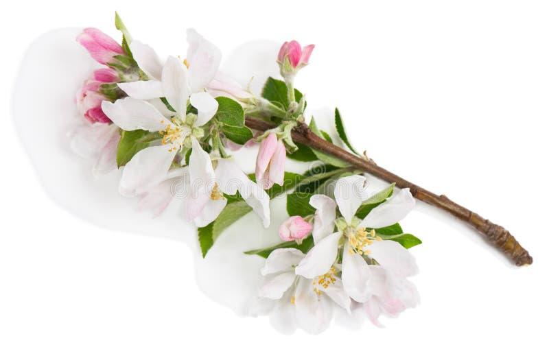 Galho de Apple na flor Acima da vista imagens de stock royalty free