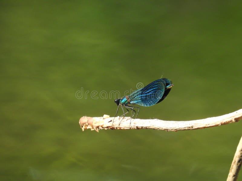 Galho de assento da libélula perto da água imagens de stock royalty free