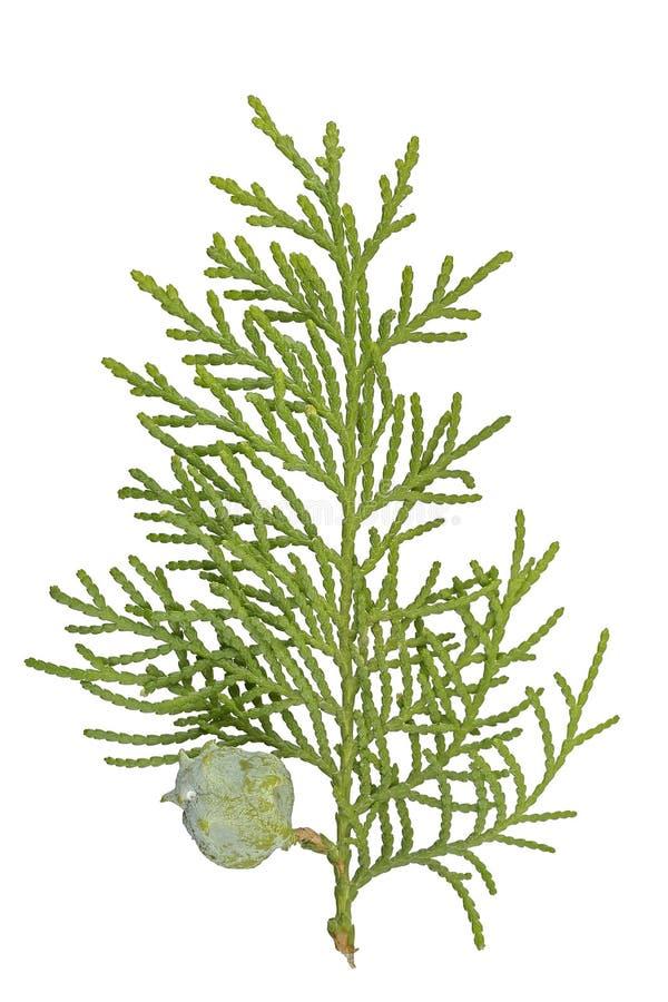 Galho de Cypress fotografia de stock royalty free