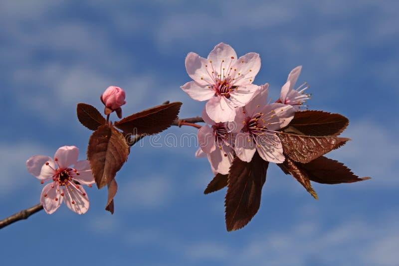 Galho de flores da ameixa da mola imagens de stock