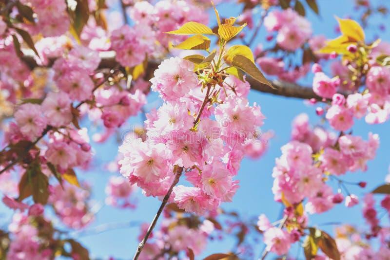 Galho de florescência da árvore de amêndoa imagens de stock