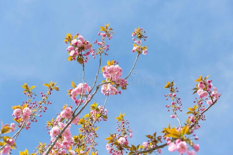 Galho de florescência da árvore de amêndoa fotografia de stock