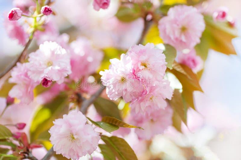 Galho de florescência da árvore de amêndoa fotos de stock royalty free