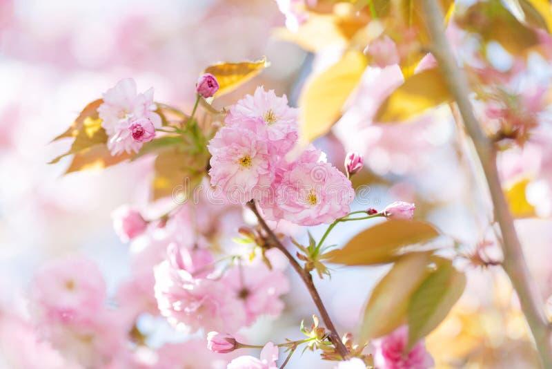 Galho de florescência da árvore de amêndoa foto de stock