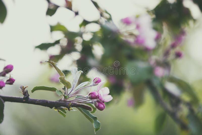 Galho de florescência da árvore de maçã fotografia de stock royalty free