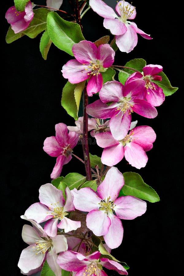 Galho de florescência da árvore de maçã em um fundo preto isolado fotos de stock royalty free