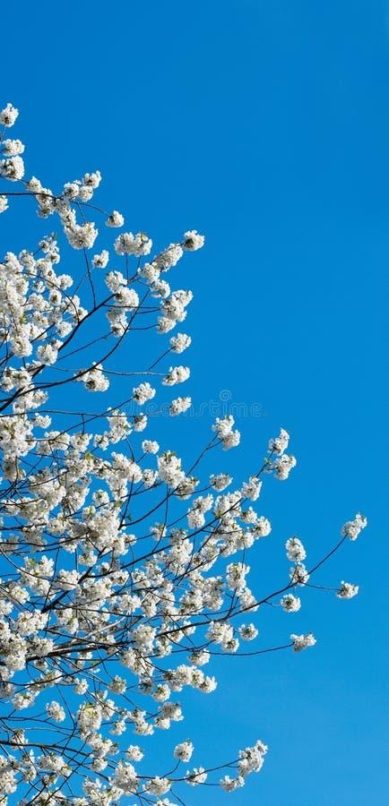 Galho de florescência do cherry-tree fotos de stock royalty free