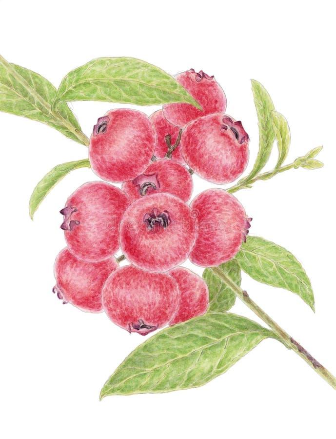 Galho de um mirtilo Vaccinum do highbush com frutos coloridos avermelhados sobre o fundo branco ilustração do vetor