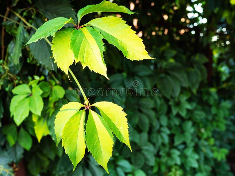 Galho verde da trepadeira da Virgínia iluminado pelo sol imagens de stock royalty free