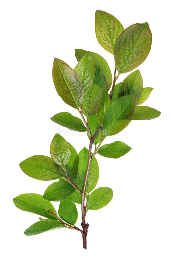 Galhos com as folhas verdes novas do decorativ da rua da cidade da mola imagem de stock
