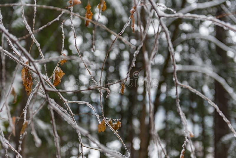 Galhos congelados da árvore na madeira fotos de stock royalty free