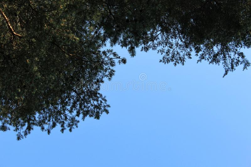Galhos do pinho com os cones no céu azul do fundo foto de stock royalty free