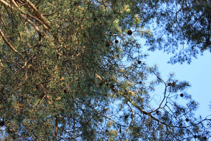 Galhos do pinho com os cones no céu azul do fundo imagem de stock royalty free
