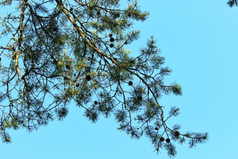 Galhos do pinho com os cones no céu azul do fundo imagem de stock