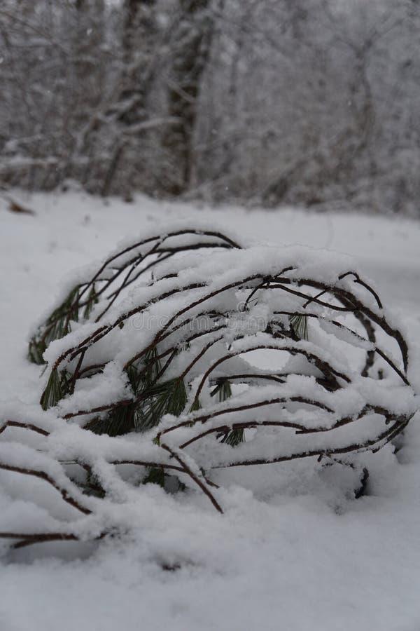 Galhos na neve imagens de stock