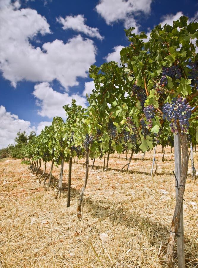 galilee vingårdar royaltyfria bilder