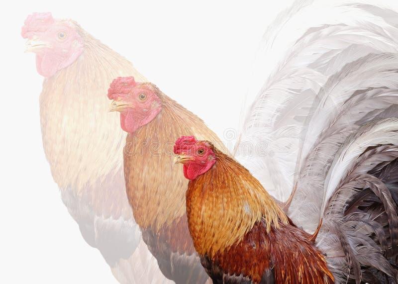 galinha imagem de stock