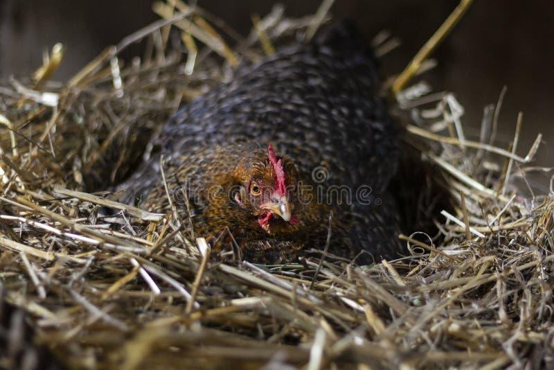 Galinha ar livre em um ninho da palha que coloca ovos imagem de stock