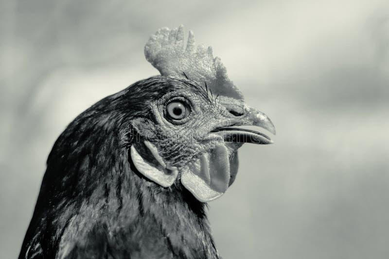 Galinha bonita, close-up, conceito preto e branco das aves domésticas A ameaça da gripe das aves e da doença entre aves doméstica fotografia de stock