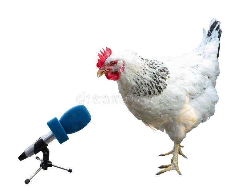 Galinha branca com o microfone isolado sobre o branco foto de stock royalty free