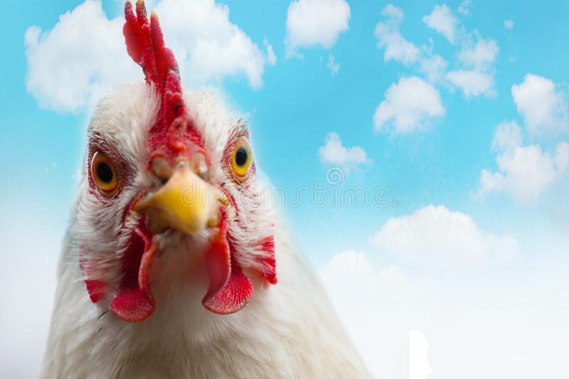 Galinha branca doméstica com o pente vermelho na exploração agrícola Feche acima da galinha ou do galo principal no fundo do céu  imagens de stock