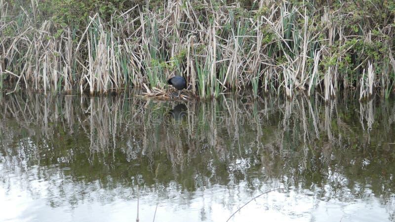 A galinha-d'água é o guardião nos juncos Ngetal 2 foto de stock royalty free
