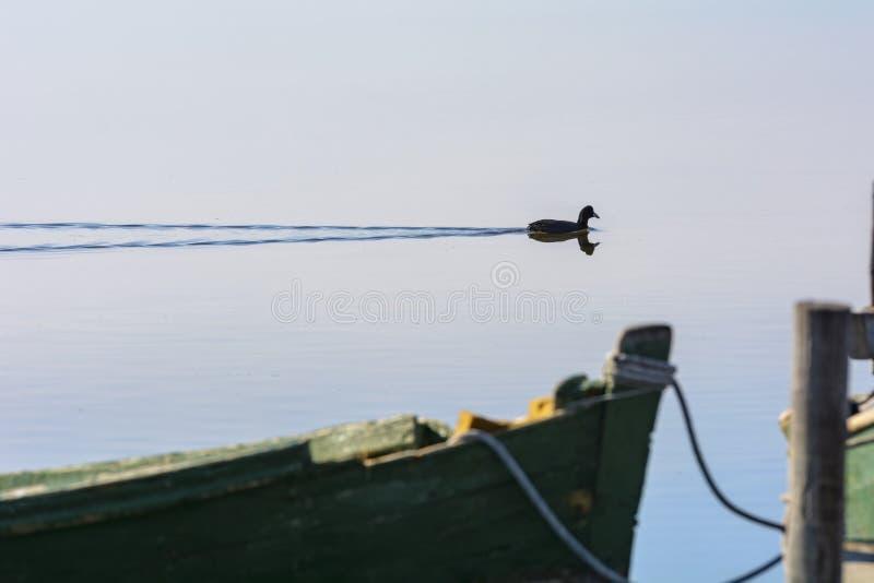 Galinha-d'água na lagoa calma no alvorecer fotografia de stock