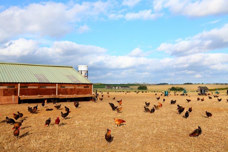 Galinha da exploração agrícola fotografia de stock