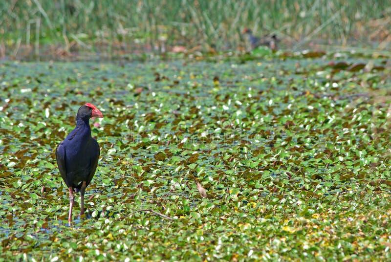Galinha de água nos pantanais fotos de stock royalty free