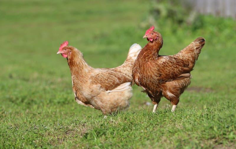 Galinha de Brown Exploração agrícola de galinha Aves domésticas caseiros Olhar rústico imagem de stock royalty free