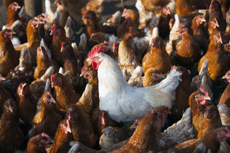 Galinha de Brown na exploração agrícola orgânica no celeiro das aves domésticas com galo branco fotos de stock