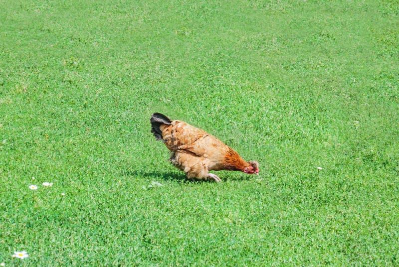 Galinha de Brown na grama verde foto de stock