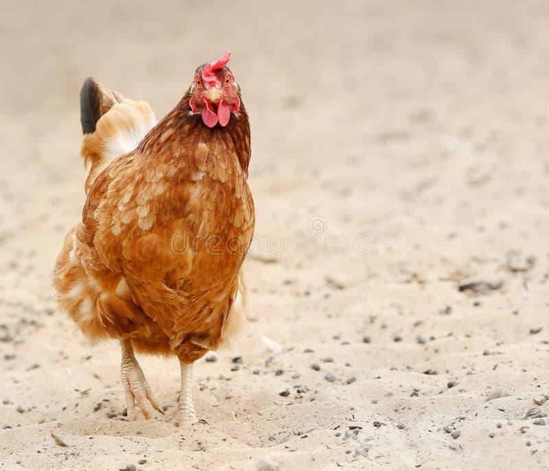 Galinha de Brown que procura o alimento na jarda de explora??o agr?cola Galinhas Galo ar livre e galinhas imagens de stock royalty free