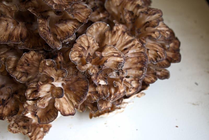 A galinha de Maitake do madeiras cresce rapidamente foto de stock