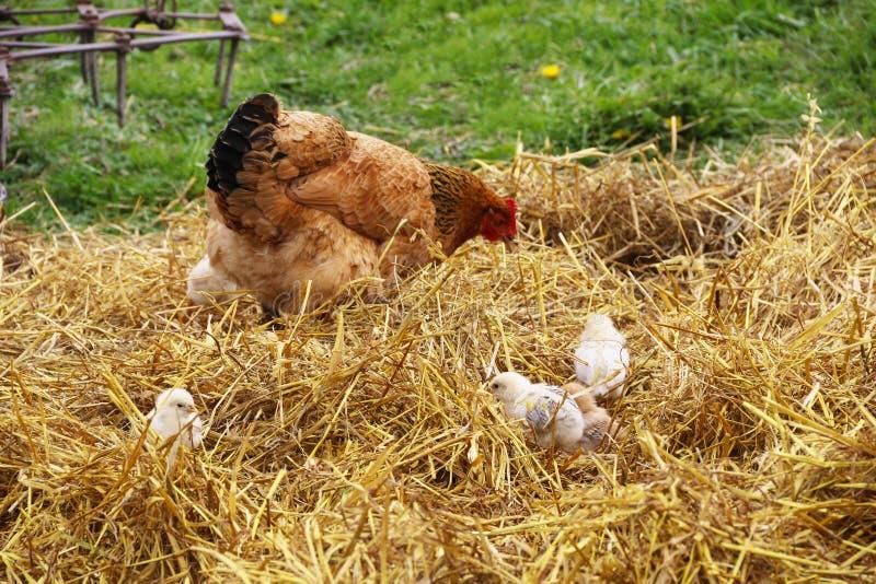 A galinha de Mather com galinha do bebê wolked em uma jarda fotografia de stock