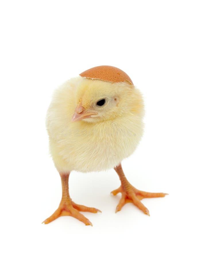 Galinha do bebê e shell de ovo como um chapéu foto de stock