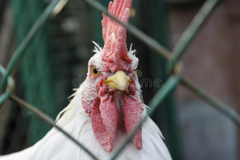 A galinha do galo é pequena, com uma vieira vermelha que olha no close-up da câmera a aparência da cara e do perfil fotos de stock royalty free