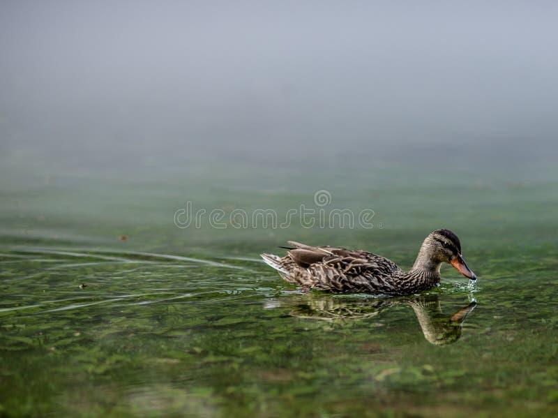 Galinha do pato selvagem com gota de água na conta foto de stock royalty free