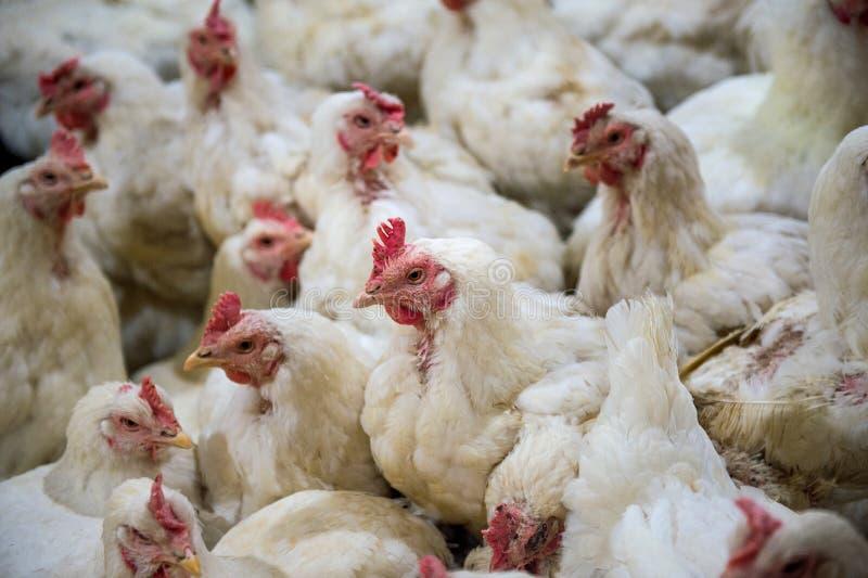 Galinha doente ou galinha triste na exploração agrícola, epidemia, gripe das aves imagens de stock royalty free