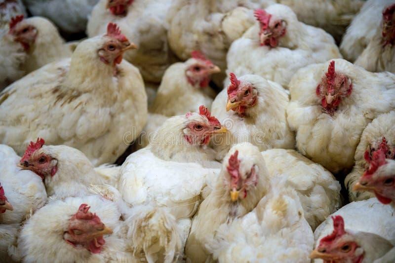 Galinha doente ou galinha triste na exploração agrícola, epidemia, gripe das aves foto de stock