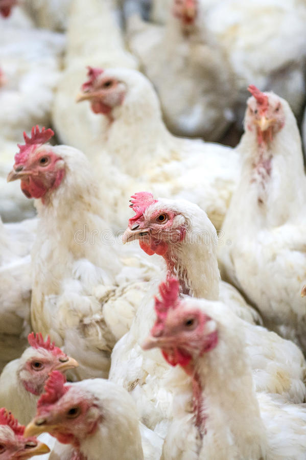 Galinha doente ou galinha triste na exploração agrícola, epidemia, gripe das aves imagens de stock