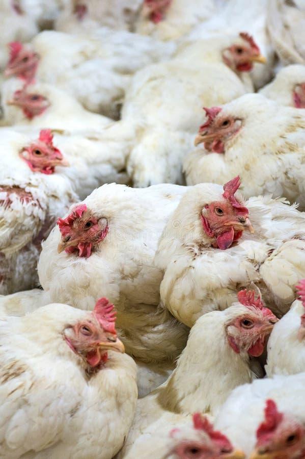 Galinha doente ou galinha triste na exploração agrícola, epidemia, gripe das aves imagem de stock
