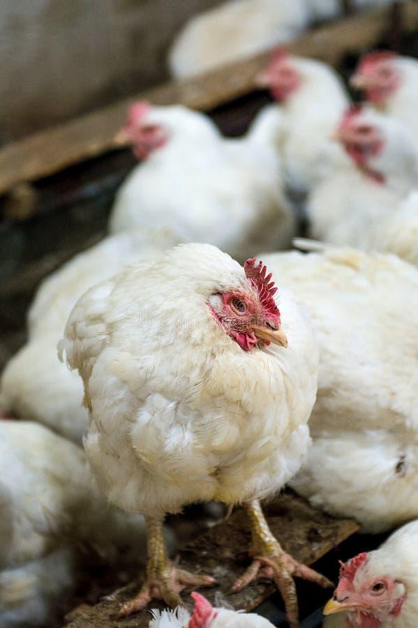Galinha doente ou galinha triste na exploração agrícola, epidemia, gripe das aves imagem de stock royalty free