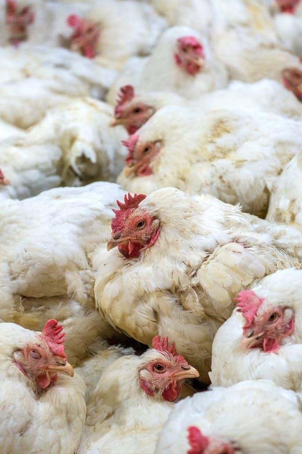 Galinha doente ou galinha triste na exploração agrícola, epidemia, gripe das aves, problemas de saúde foto de stock royalty free